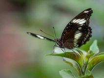 Great Eggfly Butterfly Royalty Free Stock Image