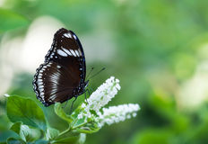 Great Eggfly butterfly Stock Photos