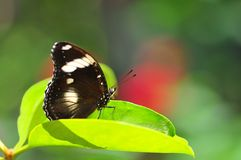 Great Eggfly butterfly (Hypolimnas bolina) Royalty Free Stock Photos