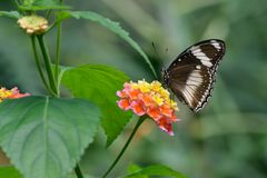 Great Eggfly butterfly and Lantana Flowers Royalty Free Stock Photography