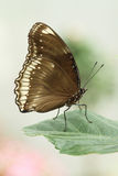 Eggfly Butterfly Royalty Free Stock Image