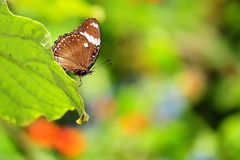 Great Eggfly butterfly (under side) Royalty Free Stock Photo