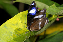 Great eggfly,  hypolimnas bolina Stock Photography