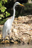 Great Egret – Ready to Catch a Fish. Great Egret (Ardea alba) – Standing still with a beady eye ready to catch a fish in a shallow inlet, Antigua, Caribbean Royalty Free Stock Photos