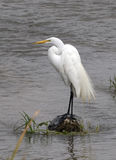 Great Egret Royalty Free Stock Photos