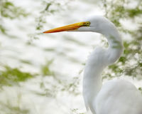 Great Egret. Profiled against sunshine reflecting off water Stock Image