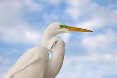 Great Egret. Close-up of a Great Egret Royalty Free Stock Photos
