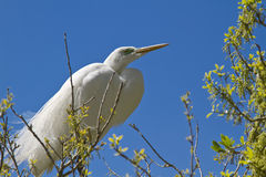 Great Egret. (Ardea alba) in the natural habitat, St. Augustin, FL royalty free stock photography