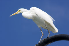 Great Egret. (Ardea alba) Standing On A Seaside Lamppost Royalty Free Stock Photo