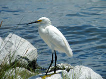 The Great Egret. On the coast stock photo