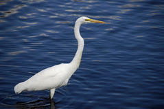 Great Egret. Wading in a pond or lake Stock Photos