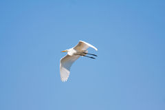 Great egret. In flight against the blue sky Royalty Free Stock Images