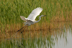 Great egret. Taking off from a pond Stock Photo
