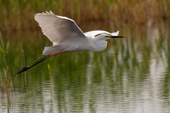 Great egret. Taking off from a pond Royalty Free Stock Photos