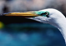 Great Egret. Portrait of an egret royalty free stock images
