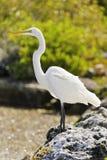 Great Egret. Great White Heron, Casmerodius Albus Stock Photo