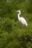 Great Egret. Birds.soft focus royalty free stock photos