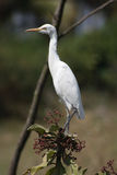 Great Egret 2. An egret sitting around across from a paddy field in Tamil Nadu, India Stock Photos