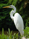 Great Egret. A Great Egret standing at a mangrove swamp Stock Photos