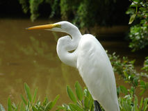 Great Egret. A Great Egret standing at a mangrove swamp Royalty Free Stock Photography