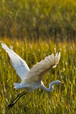 Great Egret. Stock Image