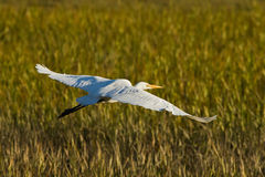 Great Egret. Stock Photos
