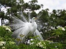 Great Egret. Great White Egret with spreaded plumage Royalty Free Stock Photography