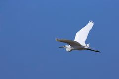 Great egret. In flight - the photo was taken in Burgenland, Austria Stock Photos