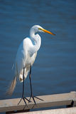 Great Egret. Full Frame Great Egret standing next to water stock images