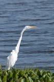 Great egret Stock Photos