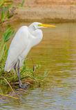 Great Egret. A great egret standing close to a river Stock Images