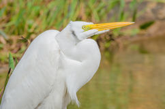 Great Egret. A close-up shot of a great egret Royalty Free Stock Image