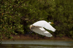 Great Egret. A great egret in the process of taking off Stock Photography