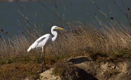 Great Egret. Is looking around on a piece of land Royalty Free Stock Photos