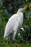 Great Egret. Great white heron, or egret, in marshland Stock Photography