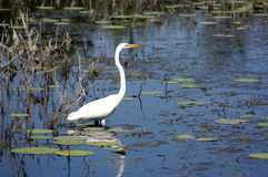 Great Egret Royalty Free Stock Photo