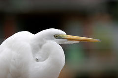 Great Egret. Great White Egret Stock Photography