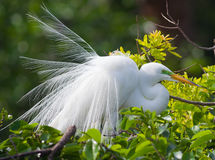 Free Great Egret Royalty Free Stock Images - 40127969