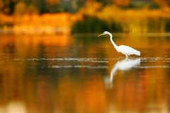 Free Great Egret Royalty Free Stock Photography - 4134087