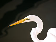Great Egret. A Great Egret hunting for fish at the water's edge in Florida, USA Royalty Free Stock Image