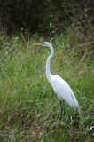 Great Egret. An egret poses near a fringe of woodland royalty free stock photography