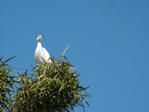Great Egret. Found in most of the world, largest egret in the Americas royalty free stock photography