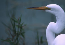 Free Great Egret Stock Photography - 6490352