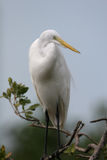 Great egret. Ardea alba - perched in a tree Royalty Free Stock Photos