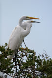 Great Egret. Ardea alba - perched in a tree Royalty Free Stock Image