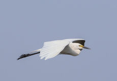 Free GREAT EGRET Stock Photography - 73047352
