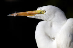 Great Egret. Against a black background Stock Photography