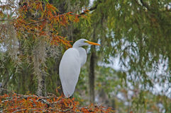 Great Egret. Photograph of a Great Egret perched on a Cypress Tree in a Florida swamp Stock Photos