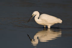 Great Egret. Wading in shallow water Stock Photography
