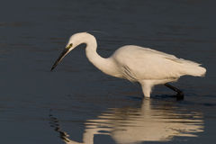 Great Egret. Wading in shallow water Stock Photos